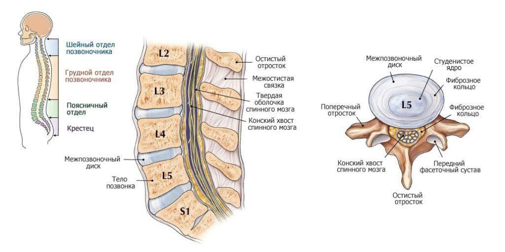 Строение позвоночника и межпозвоночного диска