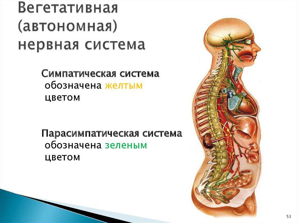 Строение вегетативной нервной системы