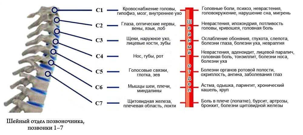 Иннервация органов нервами шейного отдела позвоночника