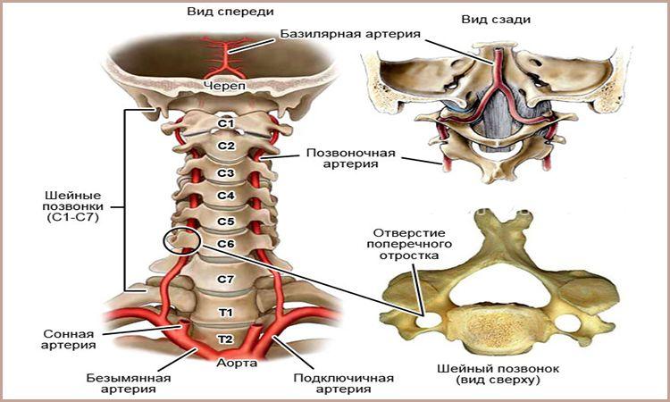 Анатомия шейного отдела позвоночника и вертебробазилярного бассейна
