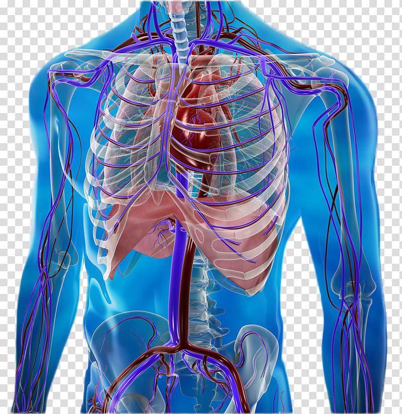 Схематическое изображение внутренних органов и опорно-двигательного аппарата