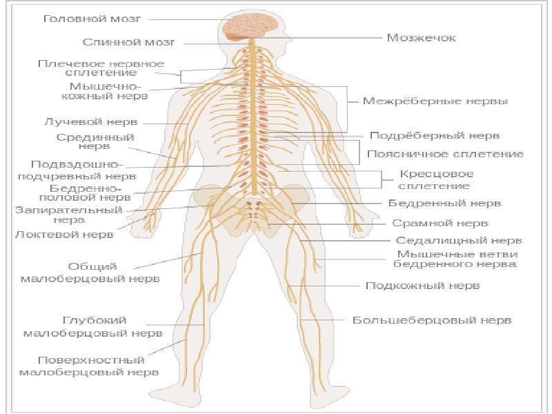 Основные нервы человеческого тела