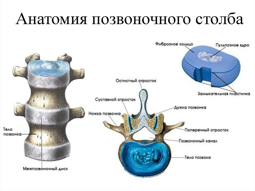 Строение позвоночно-двигательного сегмента