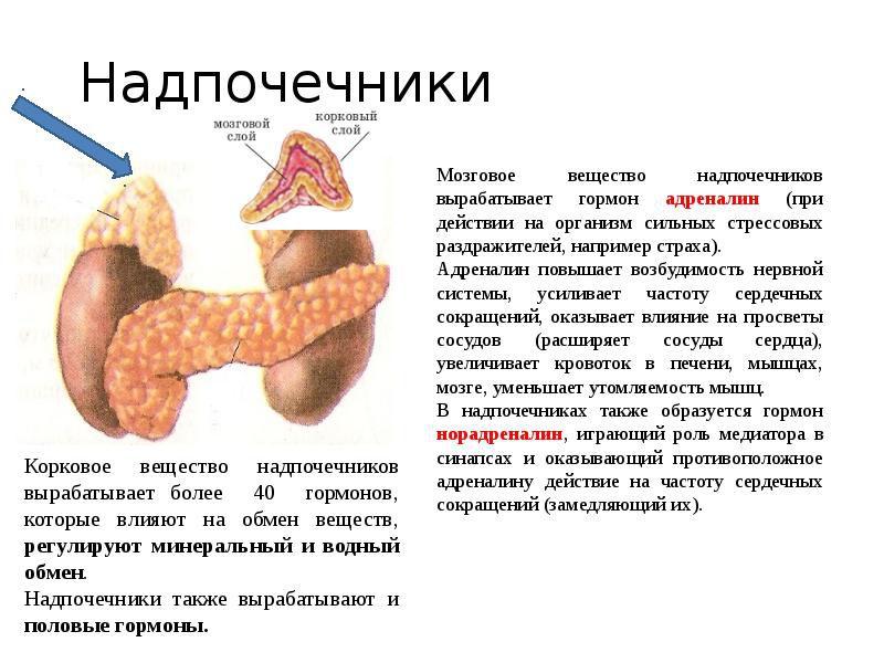 Надпочечники и их гормоны