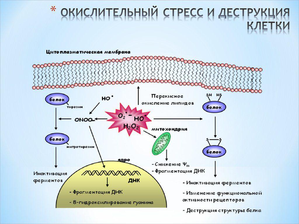 Влияние окислительного стресса на клетки