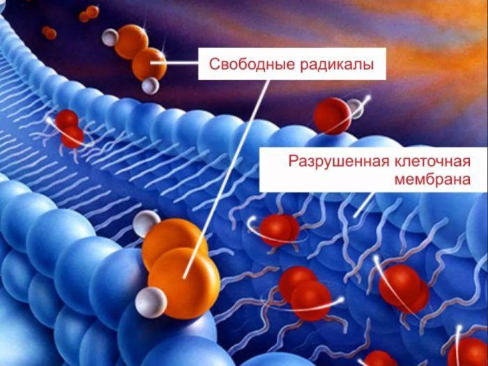 Разрушение мембраны клетки свободными радикалами