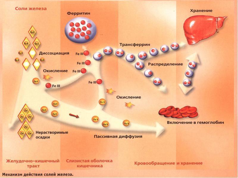 Механизм действия солей железа